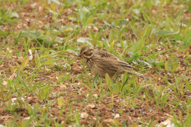 Meadow Pippit by Weekendphotographer