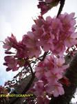 sweet pink cherry blossom tree