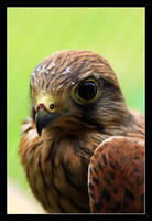 Falco Tinnunculus by LukasB86