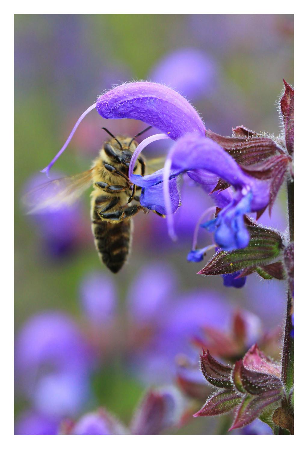 Honey Bee by LukasB86