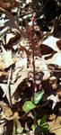 Southern Twayblade (Neottia Bifolia) by Think-Like-the-Wolf