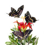 Pine Lily and Palamedes Swallowtail