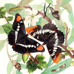California Sister and Lorquin's Admiral