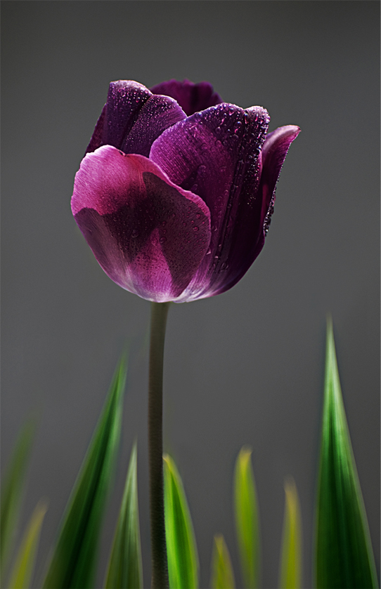 Purple Tulip by ozugun