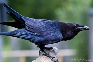 Raven King by PiTurianer