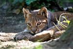 little lynx cub