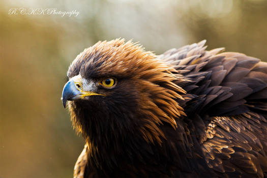 Autumn GoldenEagle