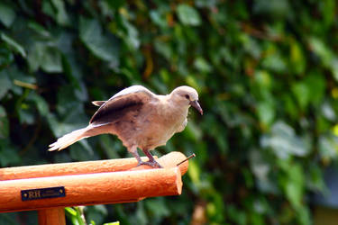baby dove 3 by YvdlArt