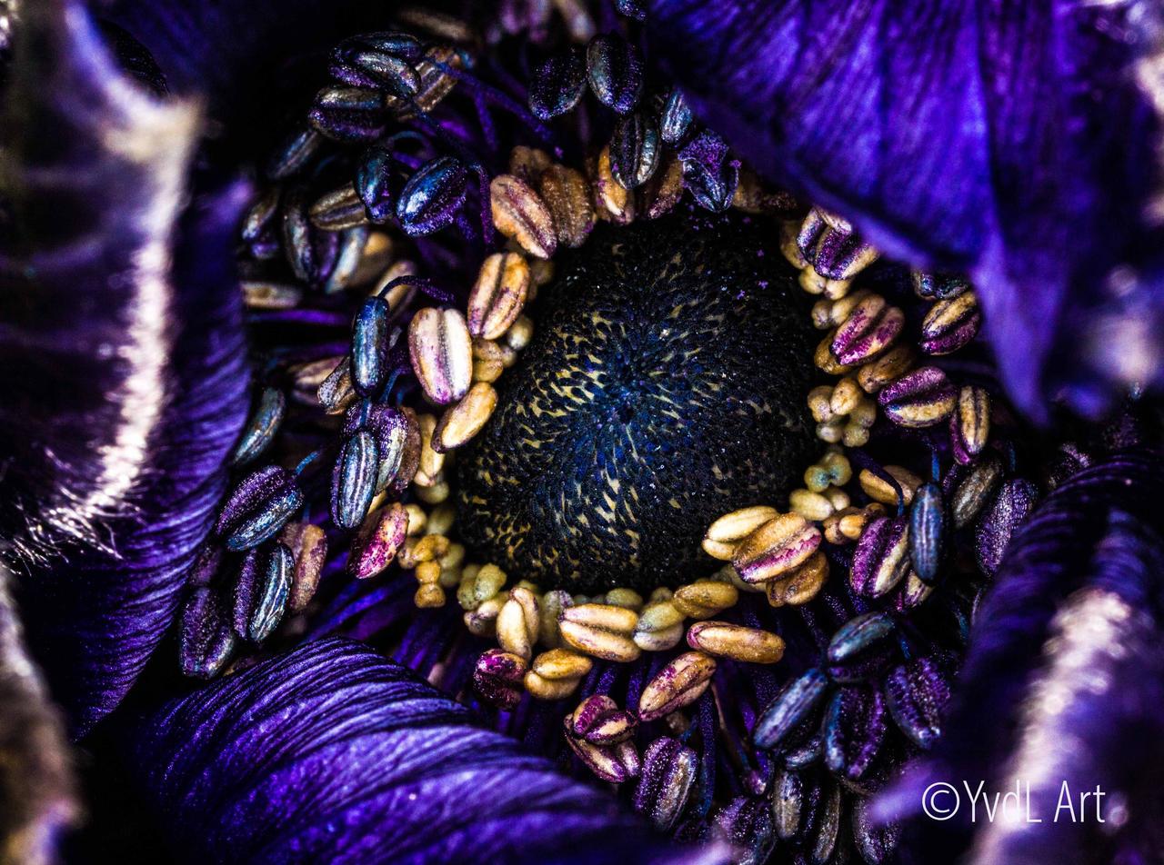 Anemone 2 by YvdlArt