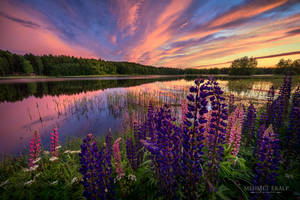 Lupines of setting sun by m-eralp