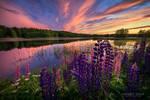 Lupines of setting sun