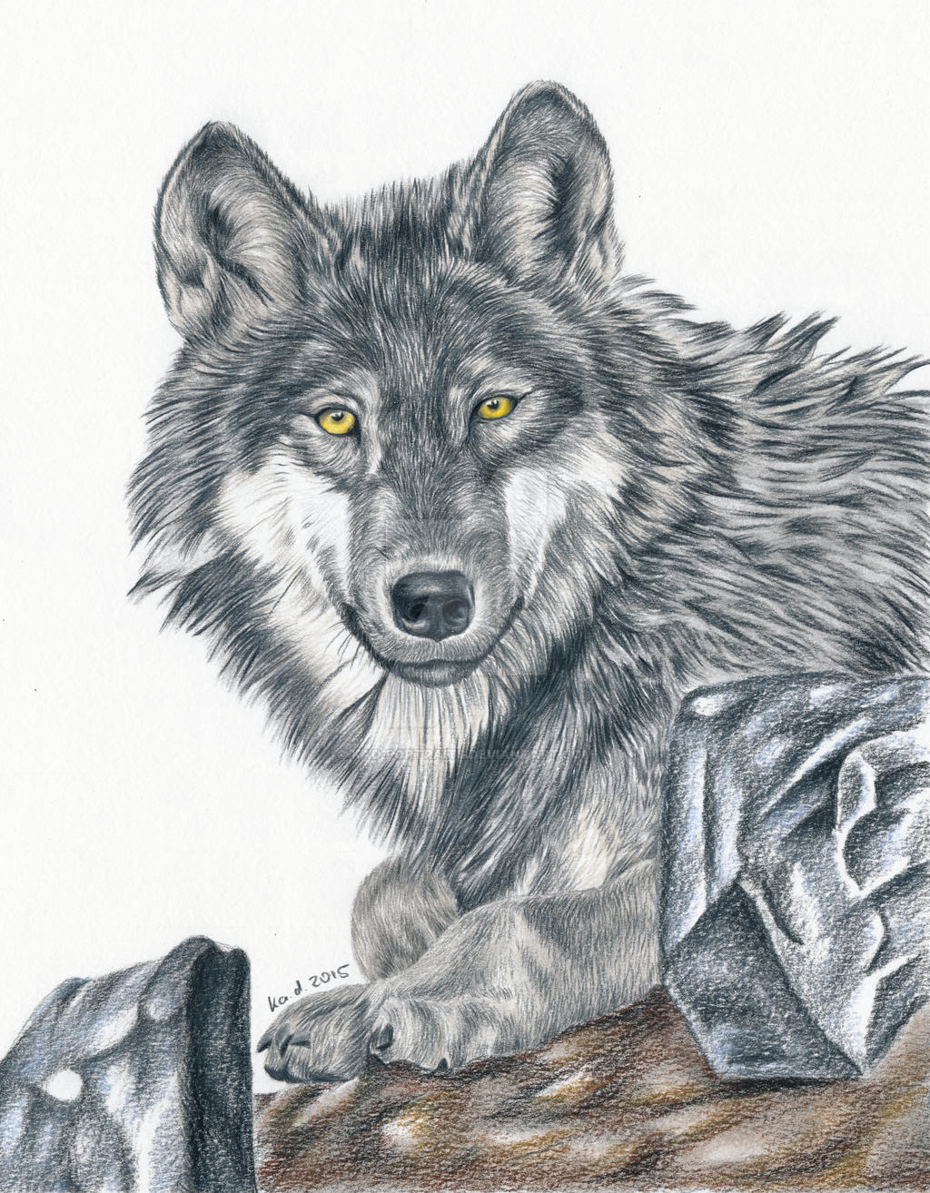 Wolf Colored Pencil Drawing By Kadportraits