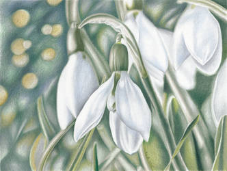 Snowdrop - colored pencil drawing by kad-portraits