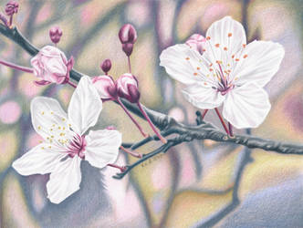 Cherry Blossom - colored pencil drawing by kad-portraits
