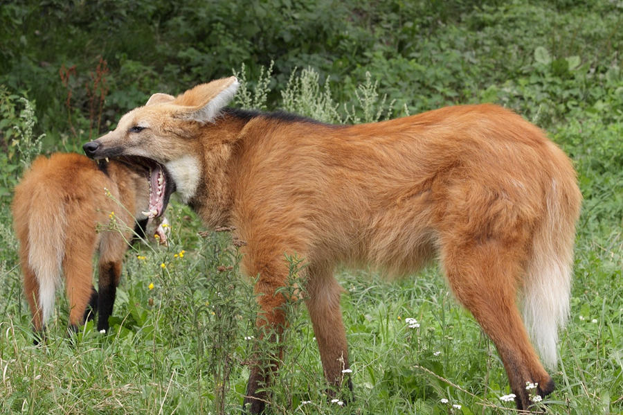 Maned Wolf Pet Maned Wolf 02 by Johnfe