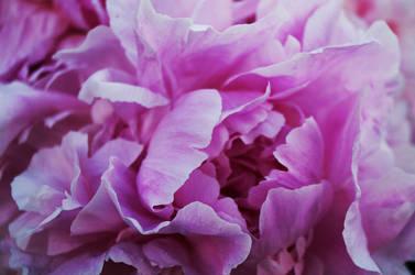 Petals by Lina-Poe