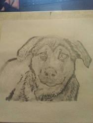 German Shepherd mix puppy portrait