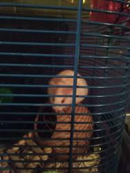 my new hamster