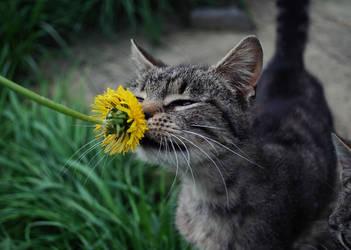 sunflower by fmen