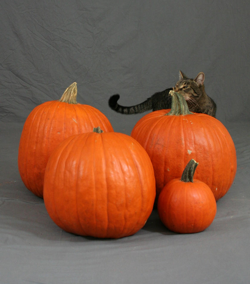 Pumpkin Cat by MajesticStock