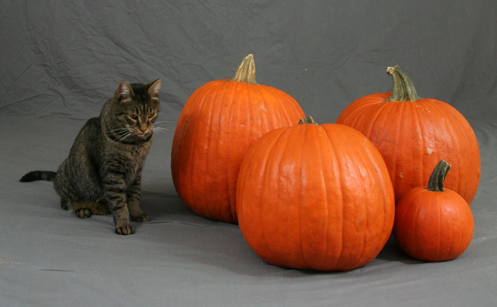 Pumpkin Cat 4 by MajesticStock