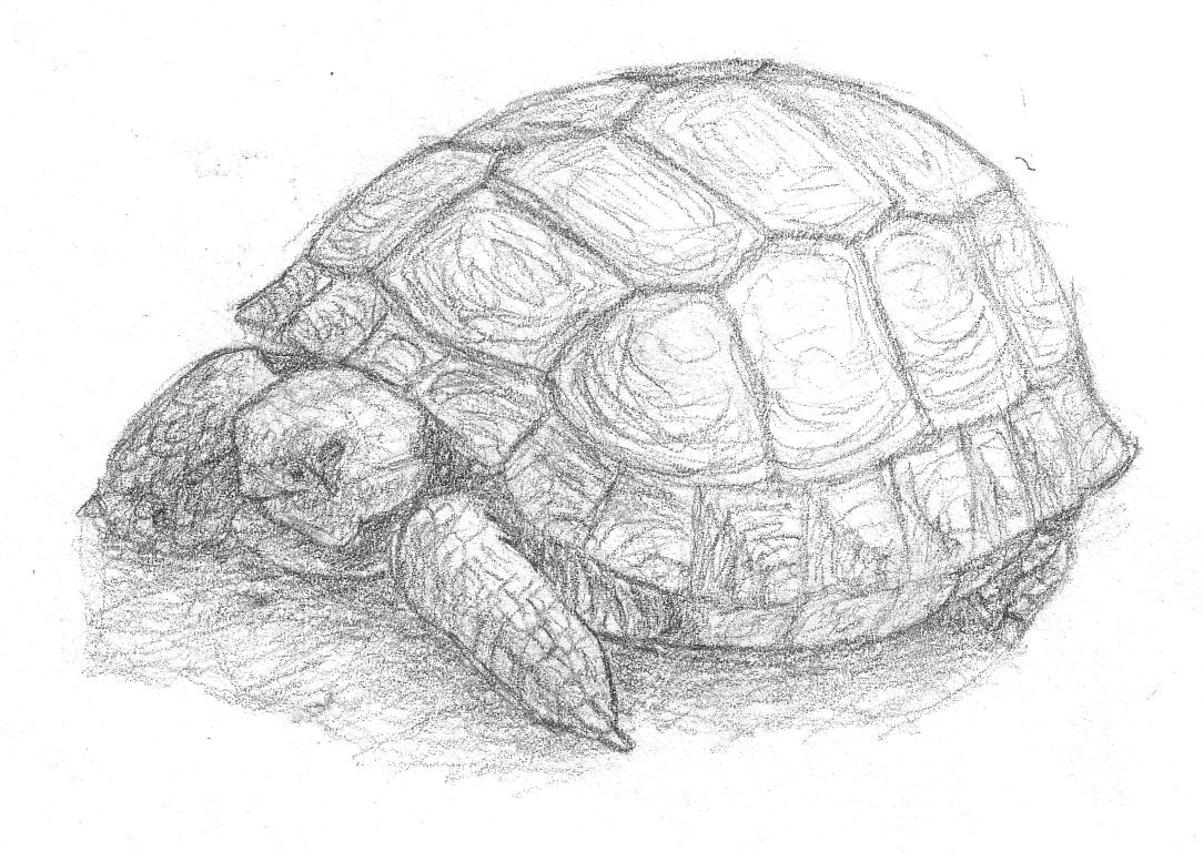 tortoise drawing for pinterest - photo #10