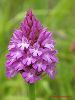 Pyramidal Orchid by Terrydunk