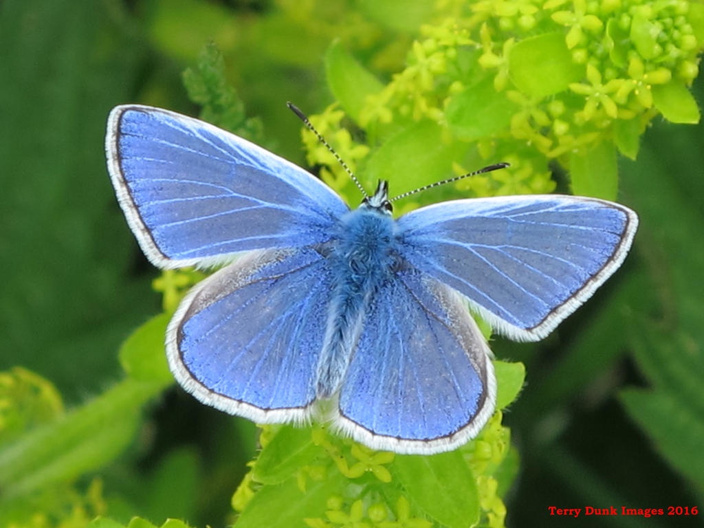 Common Blue by Terrydunk