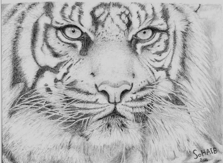 Tiger by snbhmmz