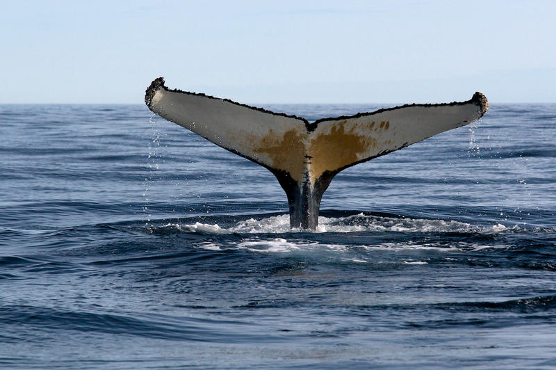 Humpback Whale by McFossey