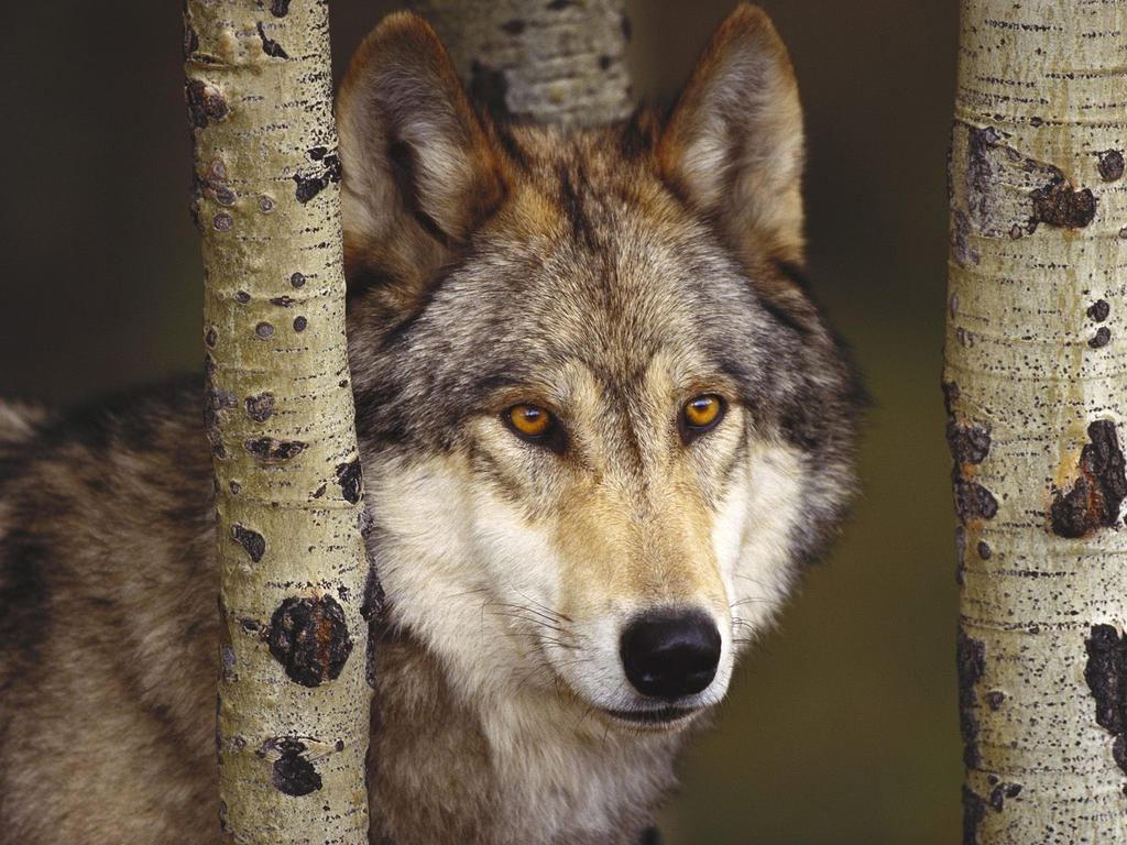 Mackenzie valley wolf - photo#8