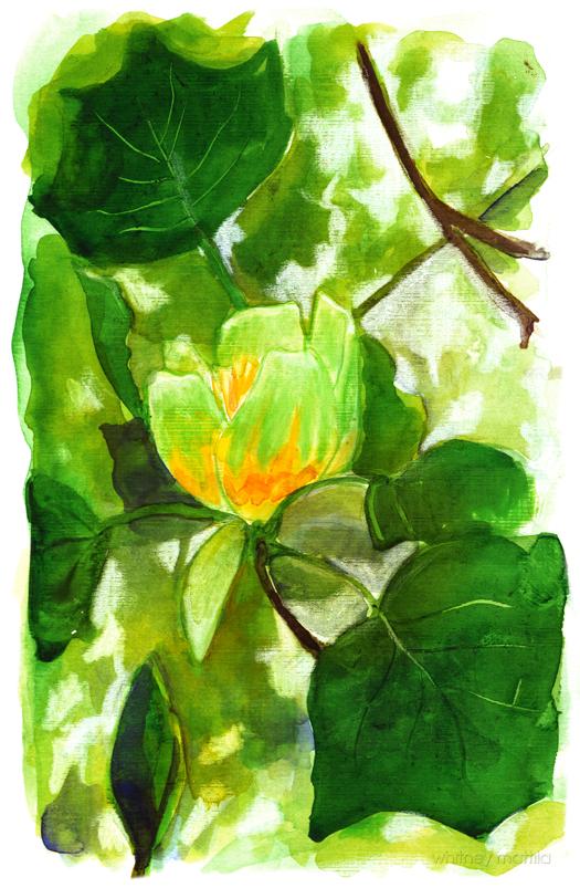 Tulip Tree Blossom by matildarose