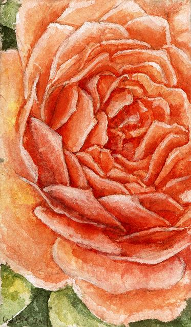 English Rose Close-up by matildarose
