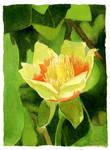 Tulip Poplar by matildarose