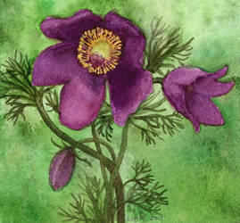 Pasque Flower for Mother's Day 2017 by matildarose