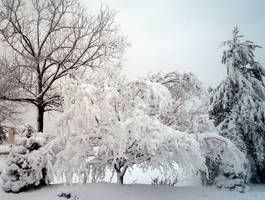 Snow covered tree: Maple