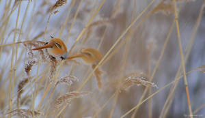 Reed dwellers by Punakylkirastas