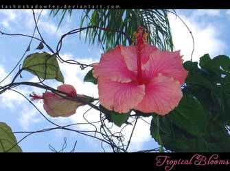Tropical Blooms: Pink Hibiscus by ShadowFey