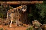 European Greywolf1