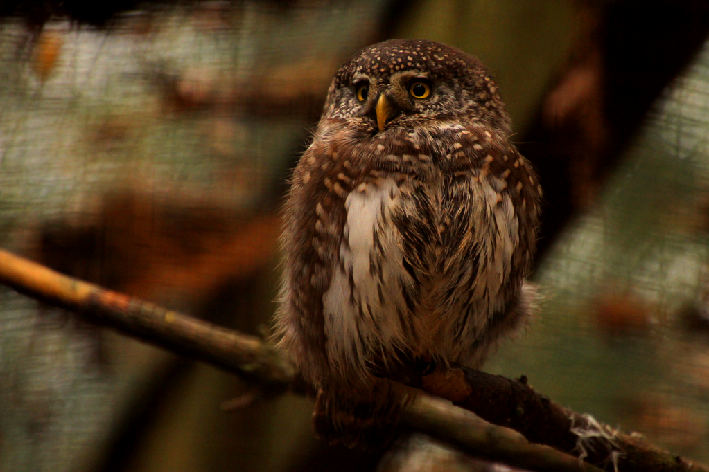 least pygmy owl by Quiet-bliss