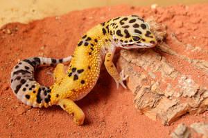 Leopard gecko by Quiet-bliss