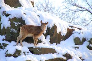 Capra ibex by Quiet-bliss