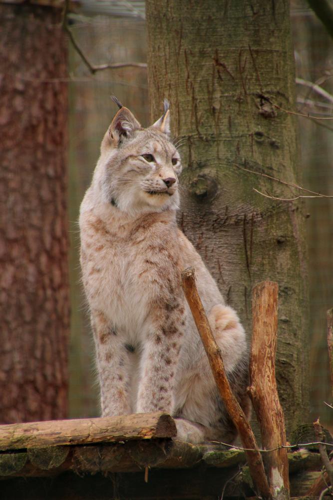 Lynx lynx 1 by Quiet-bliss