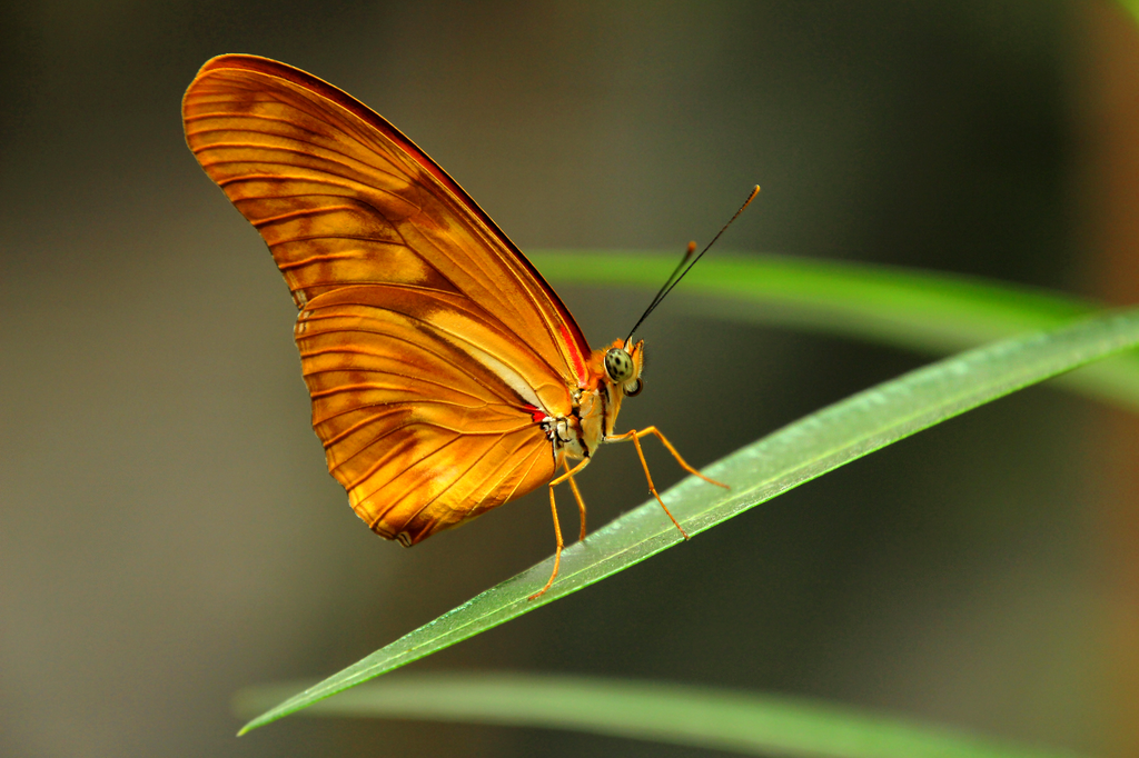 Dryas julia by Quiet-bliss