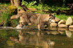 Wolf Pose 3