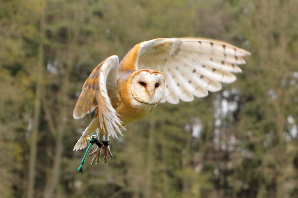 barn owl by Quiet-bliss