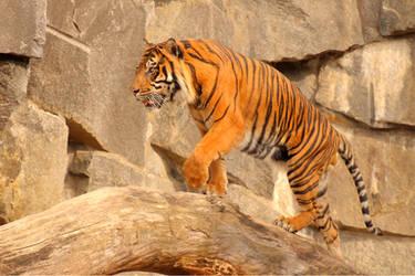 Sumatran tiger by Quiet-bliss