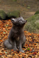 Arctic Fox 1 by Quiet-bliss