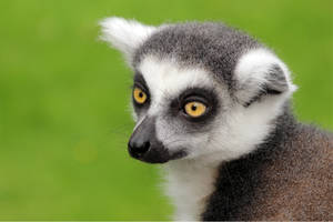 ring-tailed lemur portrait by Quiet-bliss