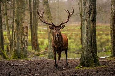 Powerful stag